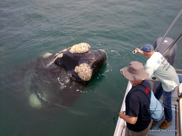 Hermanus Whale Watching Trips start with loan bulls arriving in search of a mate