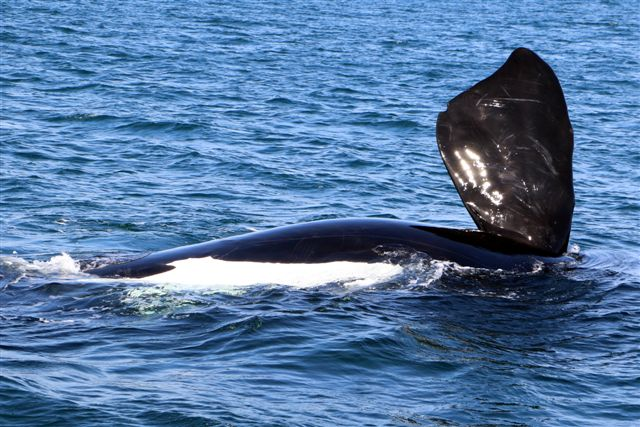 Hermanus Whale Watching Trips - Southern Right flipper taken from the deck of Ivanhoe